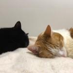 毛布の上で眠る先住猫と子猫
