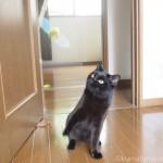 ドアに引っかけた「キャティーマン (CattyMan) じゃれ猫 びょーん ミツバチ」で遊ぶ猫