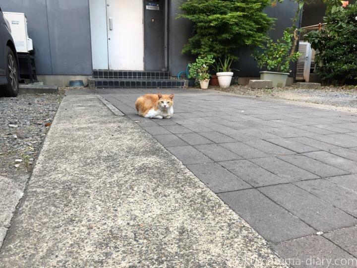香箱座り茶トラ白猫さん