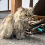 【溜池山王】お寺の長毛猫さん〜その2〜