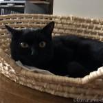 お気に入りのかご「メイズ製ペット用ベッド」で寝る黒猫