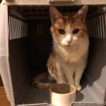 エサを期待してアイリスオーヤマの「トラベルキャリー」に入る猫