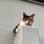 【文京区】駐車場の控え壁に乗る三毛猫さん