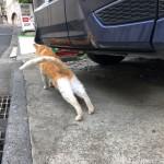 のびのびスリスリする青山の茶トラ白猫さん