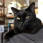 膝の上の黒猫