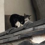 【中野区】ジャンプしてお寺の塀に乗った猫さん