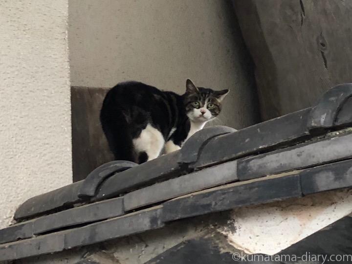 中野区猫さん塀の上