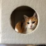 キャットタワーのボックスで掃除が終わるのを待つ猫