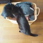 かごからはみ出して「幸せのインナーねこ」をふみふみする猫