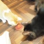 ハンドスピナーで遊ぶ「ネコリパブリック東京中野店」の猫さん
