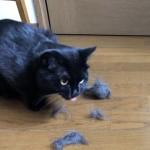 毛玉ボールを噛んで散らかす猫
