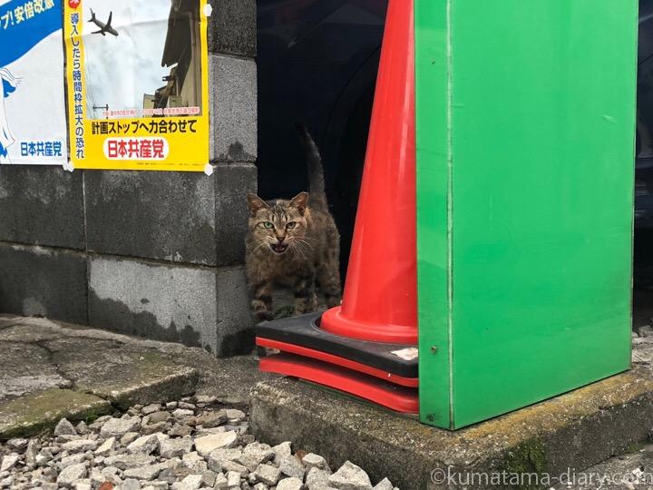 青山のキジトラ猫さん