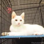 【谷中】「宿木カフェ&レストラン」のオッドアイの子猫さん