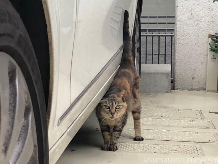 青山キジトラ猫さん
