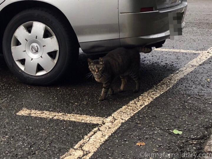 白山神社キジトラ猫さん