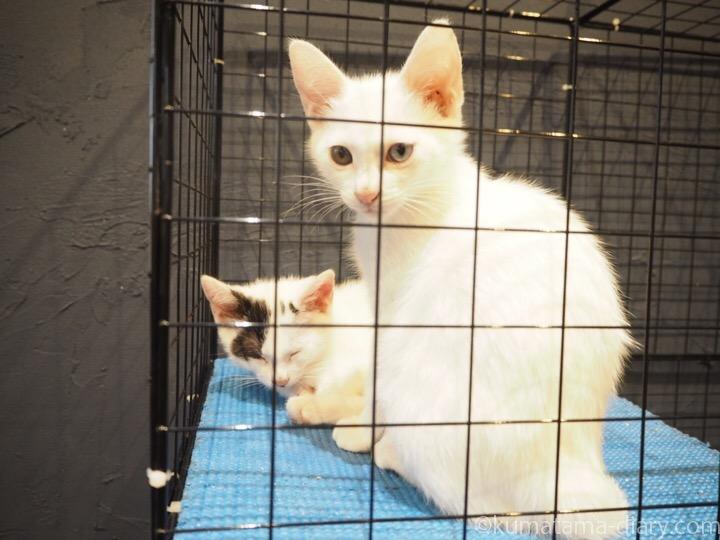 宿木カフェ白猫さんたち