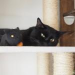 ねこあつめ「かばんに付けられるでっかいぬいぐるみ」のくろねこさんを足蹴にする黒猫