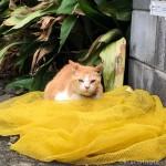 カラスよけネットの上にいた青山の茶トラ白猫さん