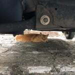 【文京区】駐車場の車の下の茶トラ猫さん