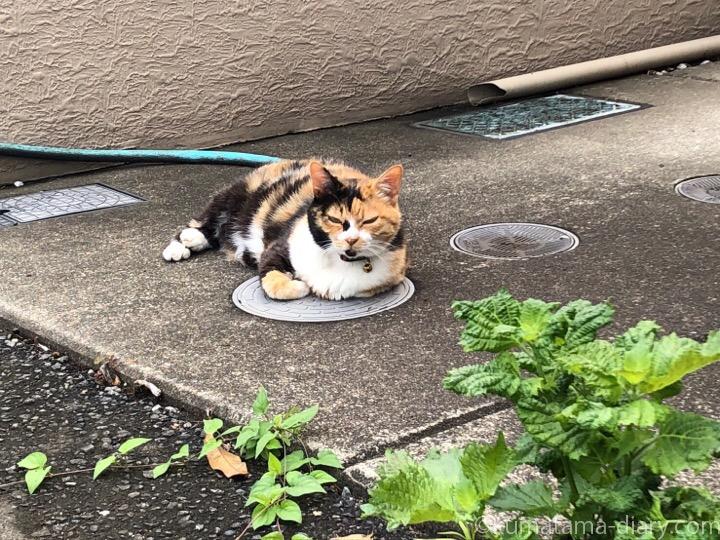 入間市三毛猫さん