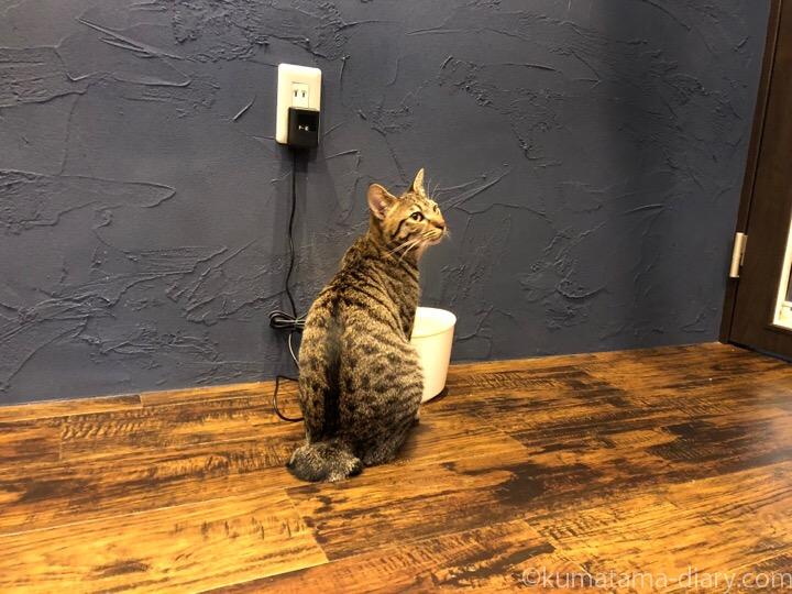 宿木カフェキジトラ猫さん