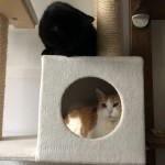 キャットタワーのボックスの順番待ちをする黒猫