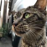 近所のワイルドなキジトラ猫さんがスリスリしてくれました