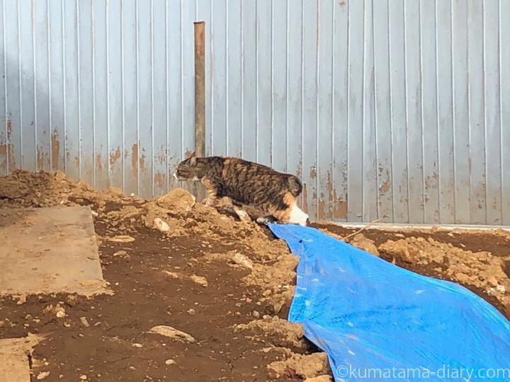 現場の三毛猫さん