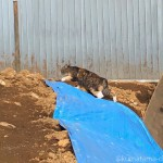 工事現場を歩く三毛猫さん