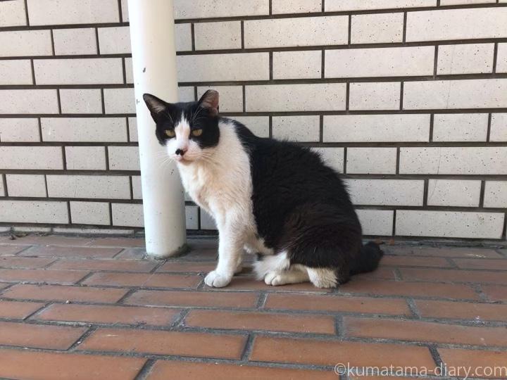 近所の黒白猫さん