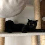 キャットタワーで面白い寝方をする黒猫