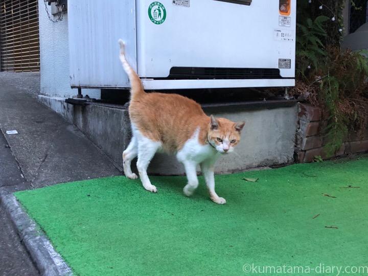 青山の茶トラ白猫さん