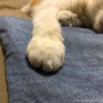 眠くても前足に手を乗せられると、必ず乗せ返す猫