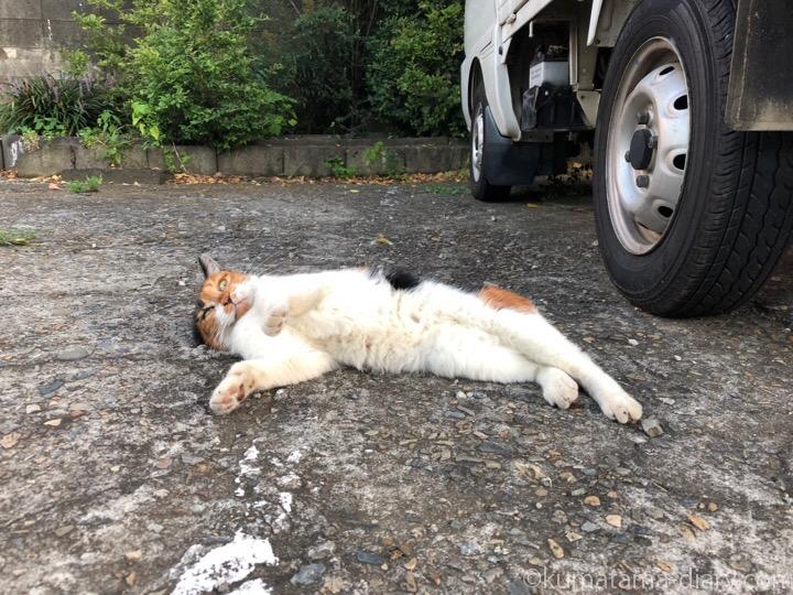 寝転がる三毛猫さん