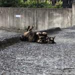 【文京区】駐車場のサビ猫さんが目の前で寝転がりました