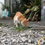 草を食べていた青山の茶トラ白猫さん