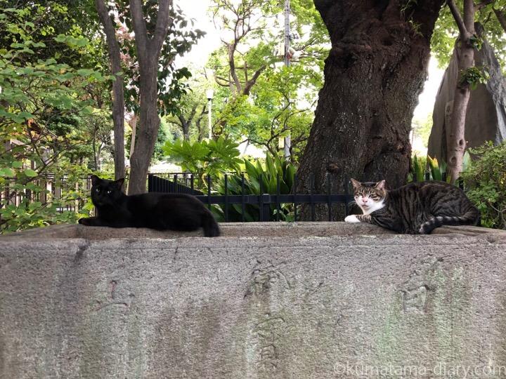 白山神社の黒猫さんとキジトラ白猫さん