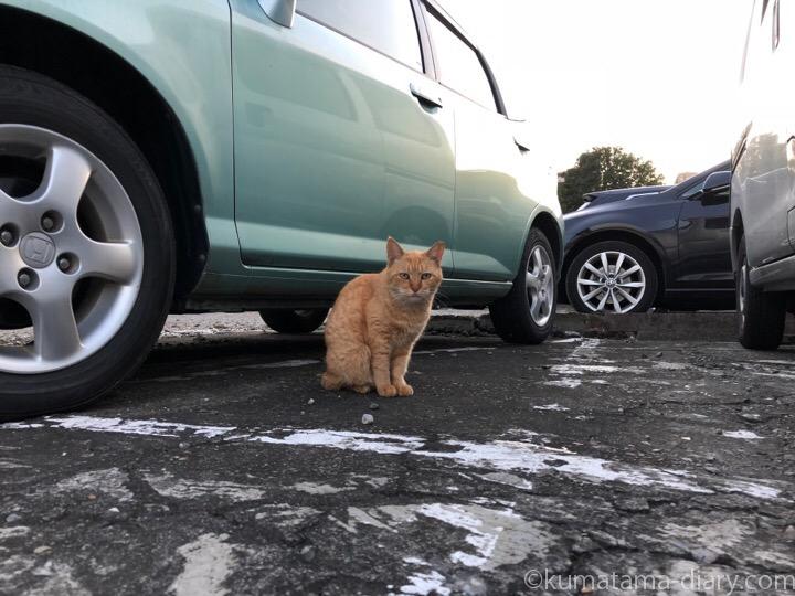 駐車場茶トラ猫さん