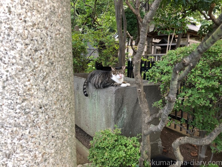 白山神社のキジトラ白猫さん