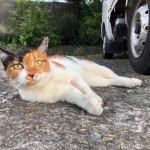 【文京区】駐車場の三毛猫さんが目の前でゴロンとなりました