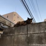 【文京区】ブロック塀の上のサビ猫さん