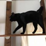 キャットウォークからハンモックに入る猫