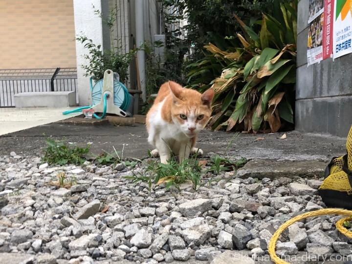 草を食べる茶トラ白猫さん