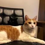 カリモク60のKチェアを一緒に使う猫たち