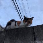 【文京区】ブロック塀の上の三毛猫さん