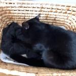 乳を吸うように「幸せのインナーねこ」を吸う猫
