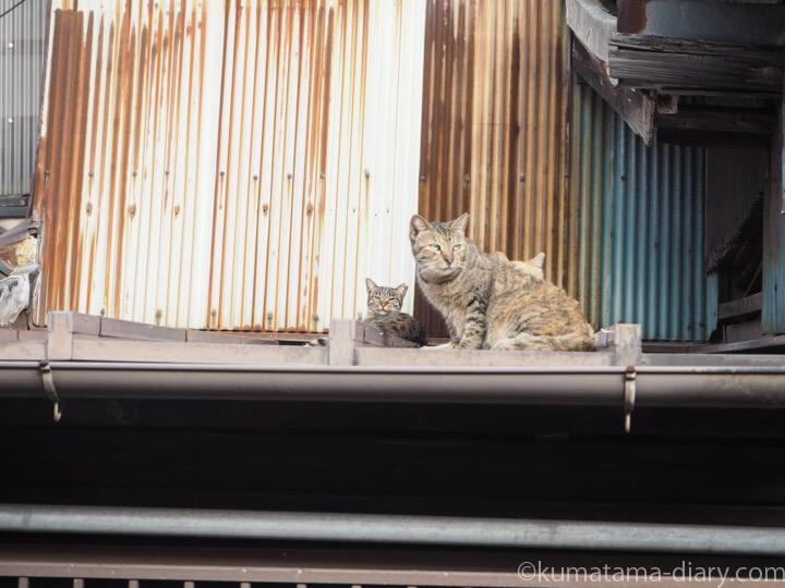 屋根の上のキジトラ猫さん