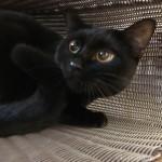 かごに入って爪とぎをする黒猫