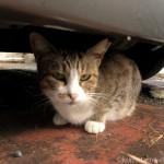 【若松区】市場のサクラ猫さんたち