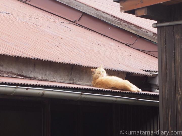 屋根の上の茶トラ猫さん
